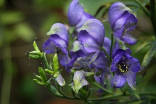 Blue Monkshood (Aconitum napellus)