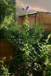 Chinese Aconite (Aconitum carmichaelii), over 2 m tall plant