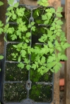 Poison Hemlock Seedlings