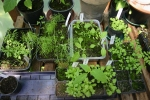 Seedlings 2013, own Green House