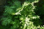 Wormwood grown from seed, photo by Wiebke Rost