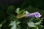 Datura stramonium var. 'tatula'
