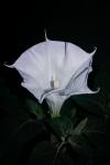 'Moonflower' at night