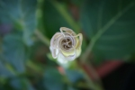 Toloache (Datura innoxia)