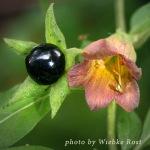 belladonna thumb copy