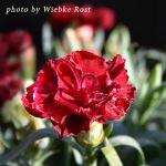 carnation thumb copy
