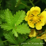 cinquefoil thumb copy