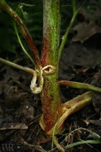 Poison Hemlock stem