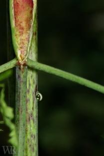Poison Hemlock stem with purple spots