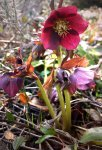 Helleborus orientalis/ Helleborus x hybridus