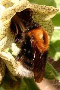 Hyoscyamus niger and Bumblebee
