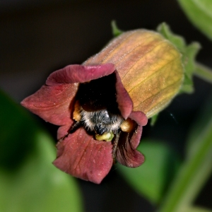 Atropa belladonna flower pollinated by bumblebee