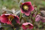 Hellebore 'Red Spotted Lady'
