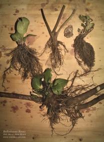 Belladonna roots I