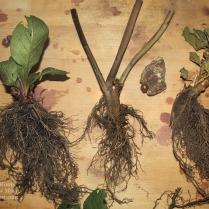 Belladonna roots II