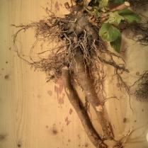 Belladonna tap root