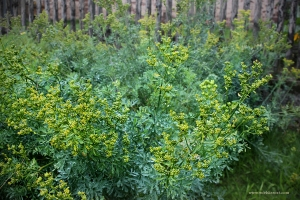Rue plants