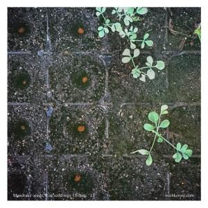 Mandrake seeds, Rue seedlings Aug. '15